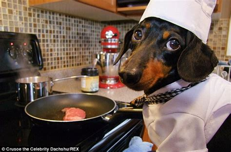 This Dachshund Is The Cutest Cook Ever! - A Dog's Love