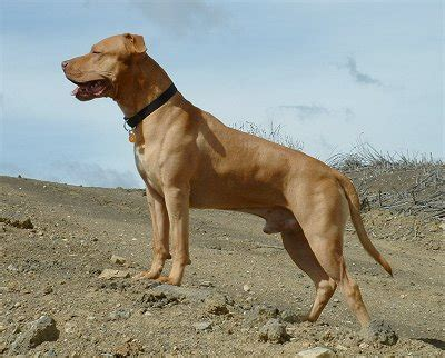 For The Dogs: Pitbulls, Good or bad?