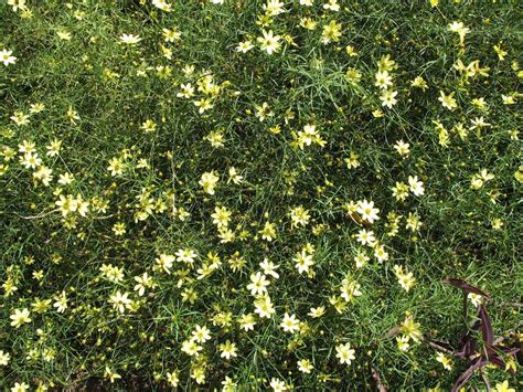Buy Coreopsis Moonbeam Plants Online | Free Shipping Over $125