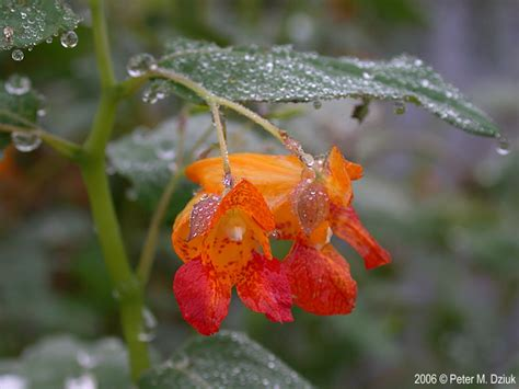 Impatiens capensis (Spotted Touch-me-not): Minnesota