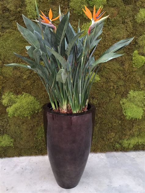 Strelitzia plant combination: plants from our own nursery